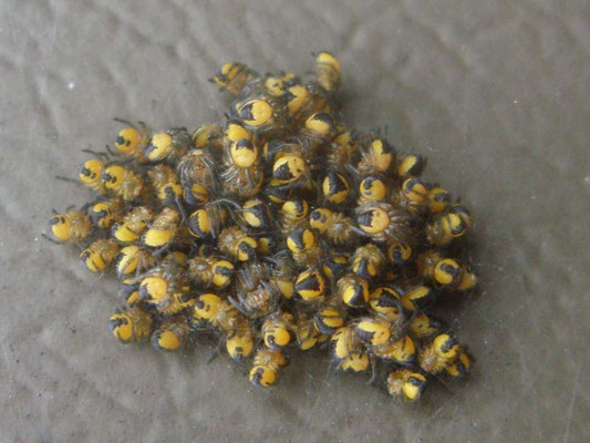 Spiderlings of the common garden spider Araneus diadematus
