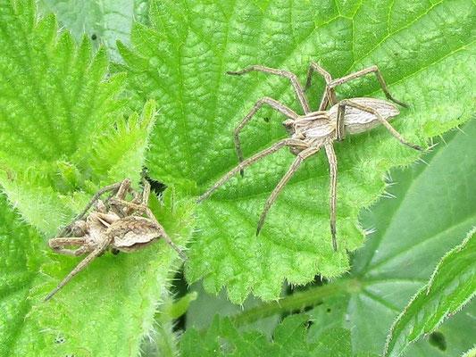 Nursery web spiders Pisaura mirabilis