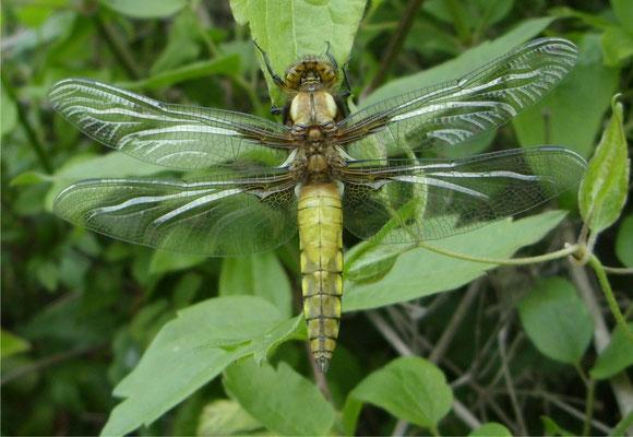 Broad-bodied Chaser male immature (Libellula depressa)