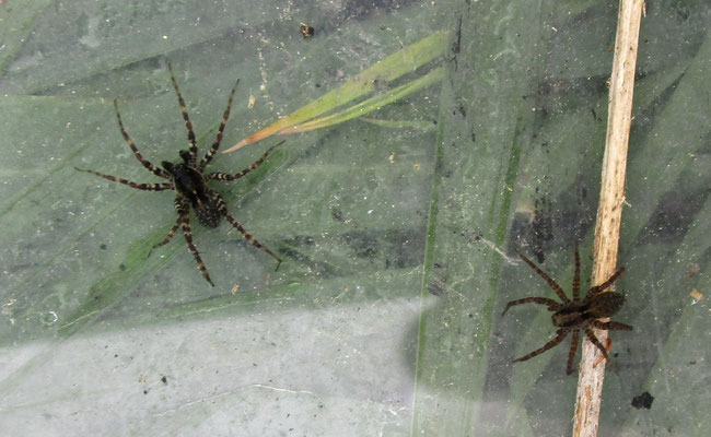 Wolf spiders, 6 or 7 mm long