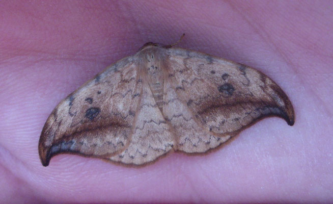 Pebble Hook-tip moth (Drepana falcataria)