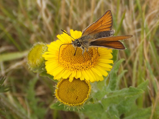 Skipper on fleabane