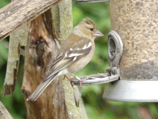 Chaffinch Fringilla coelebs - female