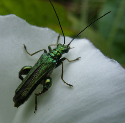 Thick-legged flower beetle (Oedemera nobilis)