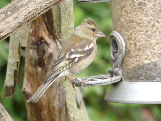 Chaffinch (Fringilla coelebs) female
