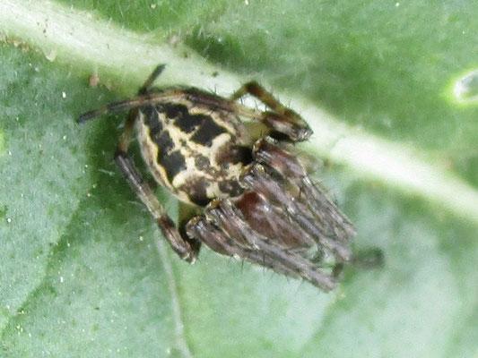 Spider Larinioides cornutus