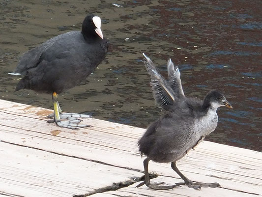 Coot with young (Fulica atra)