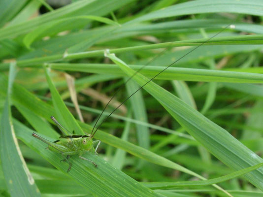 Short-winged conehead (Conocephalus dorsalis)