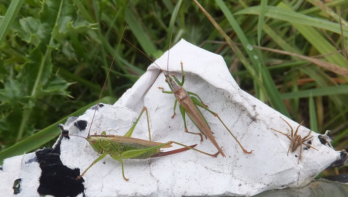 Long-winged coneheads (Conocephalus discolor)