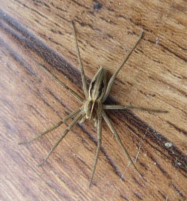 Nursery-web spider (Pisaura mirabilis)