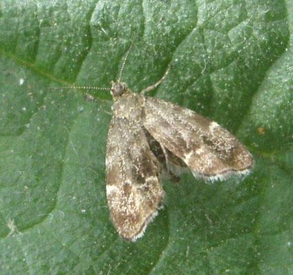 Nettle-tap moth Anthophila fabriciana