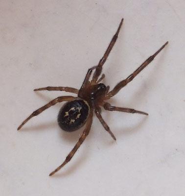 False widow (Steatoda nobilis)