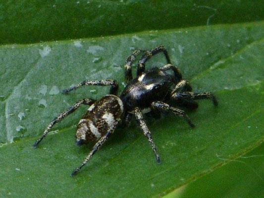 Spider Zebra (Salticus scenicus)