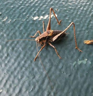 Dark bush cricket male (Pholidoptera griseoaptera)