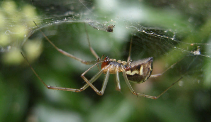 Money spider (Linyphia triangularis)