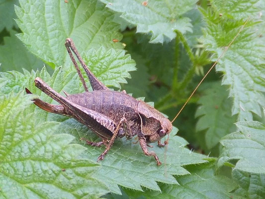 Dark bush cricket female (Pholidoptera griseoaptera)