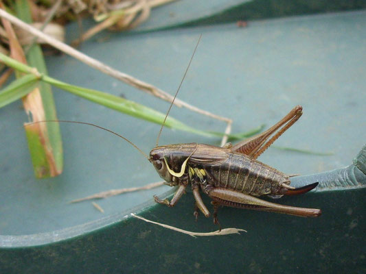 Roesel's bush cricket female (Metrioptera roeseli)