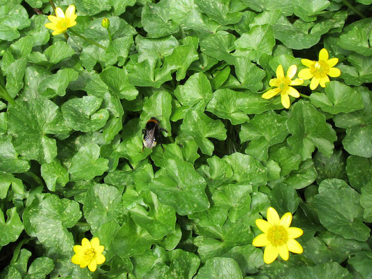 White-tailed bumble bee on celandine