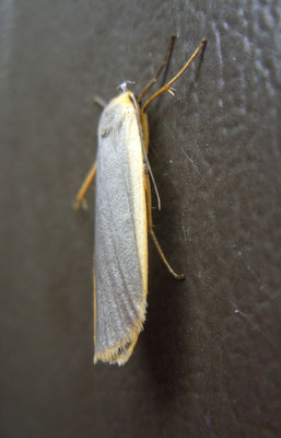 Common footman moth Manulea lurideola