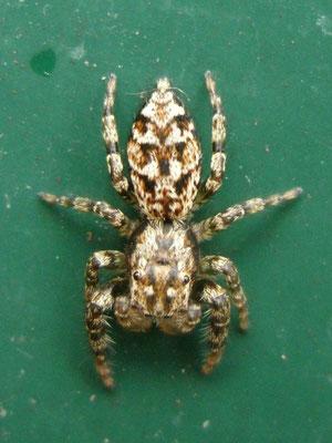Jumping spider (Marpissa muscosa)