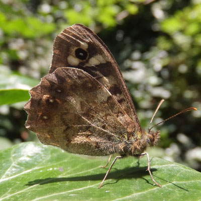 Speckled wood (Pararge aegeria)