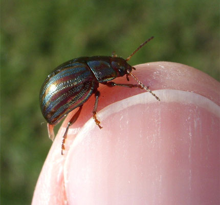 Rosemary beetle (Chrysolina americana)