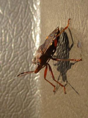 Red-legged shieldbug Pentatoma rufipes