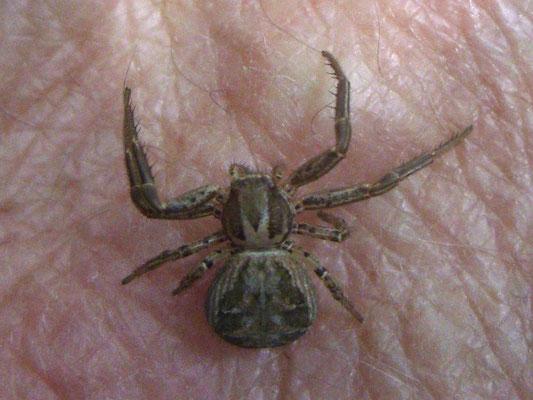 Xysticus crab spider