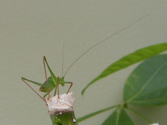 Speckled bush cricket male (Leptophyes punctatissima)