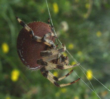 4-spot orb weaver (Araneus quadratus)