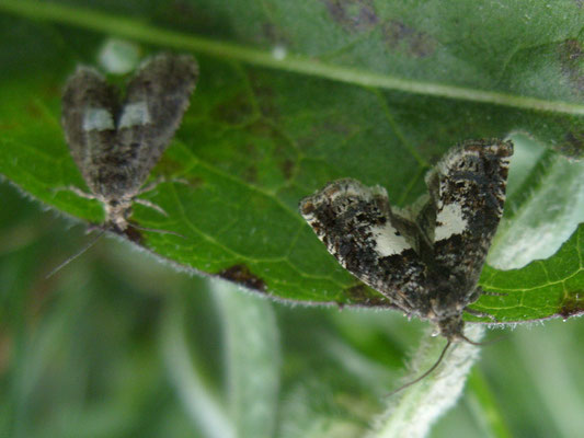 Four-spotted moth Tyta luctuosa