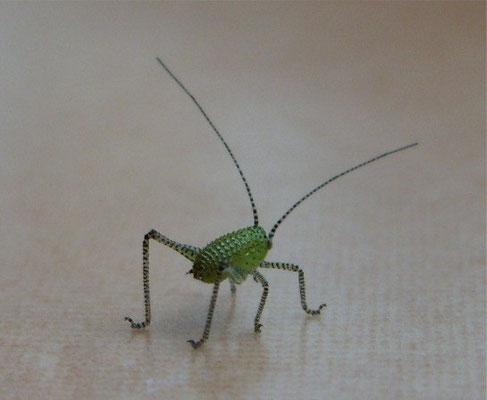 Bush cricket nymph