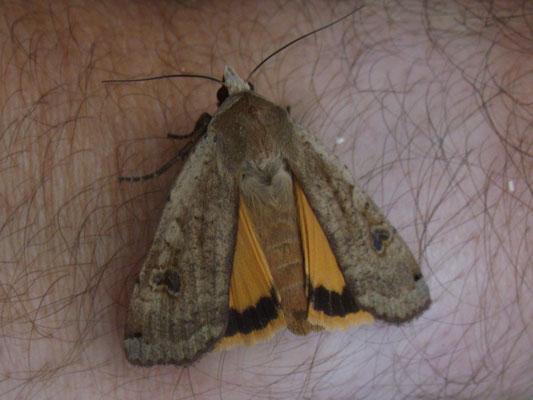 Lesser yellow underwing (Noctua comes)
