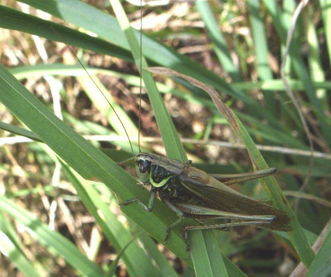 Roesel's bush cricket (Metrioptera roeseli)