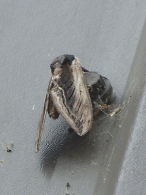 Privet hawk moth Sphinx ligustri – sorry about the camera angle