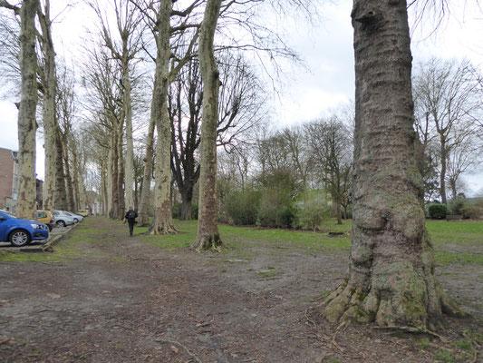 Doornik - Schitterende platanen in de Jardin du Prince naast de Boulevard Léopold.