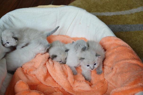 Panier de chatons sibériens
