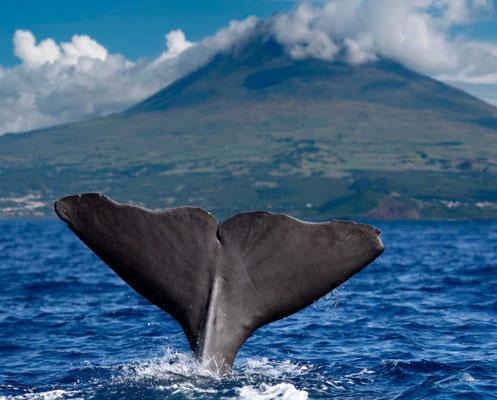Pottwal fluke vor Pico Azoren
