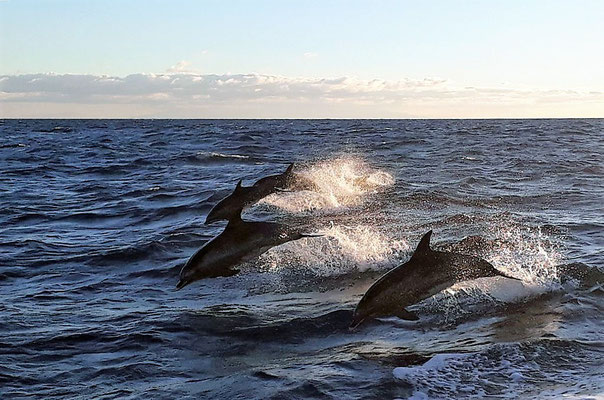 springende Delfine (Foto: Andreas Schröder)