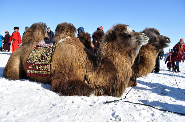 Rassemblement de chameaux Bulgan