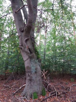Baum in Nassenheide