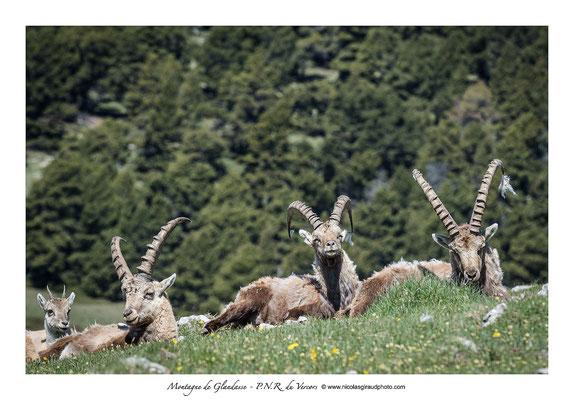 Bouquetins - Massif du Glandasse - Vercors © Nicolas GIRAUD