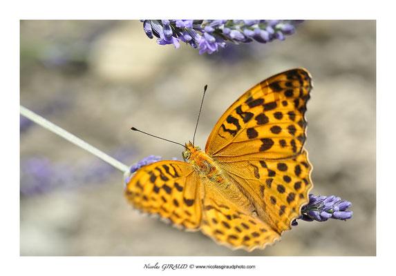 Papillon © Nicolas GIRAUD