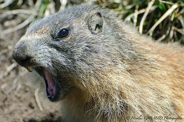 Marmotte - P.N.R. du Vercors © Nicolas GIRAUD
