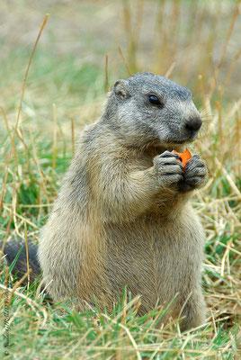 Marmotte - P.N.R. du Mercantour © Nicolas GIRAUD