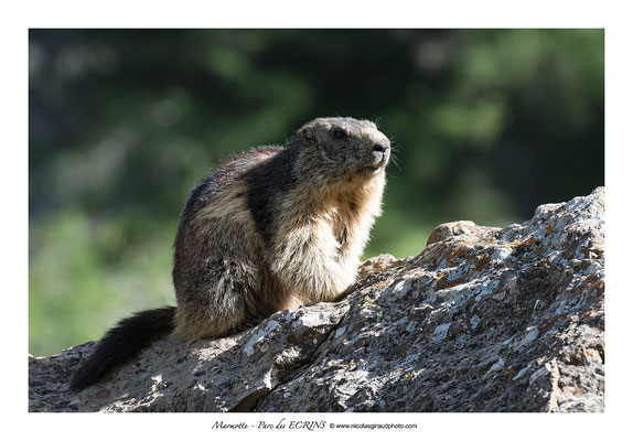 Marmotte - Parc National des Ecrins © Nicolas GIRAUD