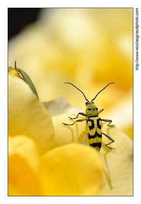 Macro Insecte Tigre © Nicolas GIRAUD