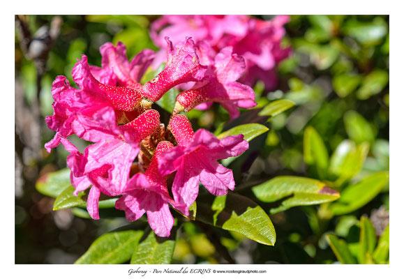 Rhododendrons - Gioberney - P.N.E. © Nicolas GIRAUD