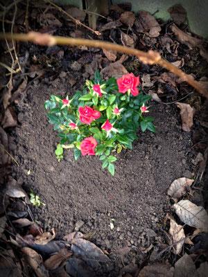 Ihr Bettchen für die Ewigkeit, mit roten Rosen versehen