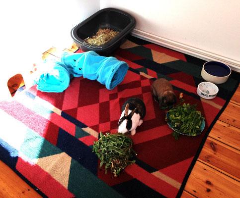 Gesellschaft, Platz, frisches Futter und Beschäftigung (Mindestanspruch für Kaninchen)